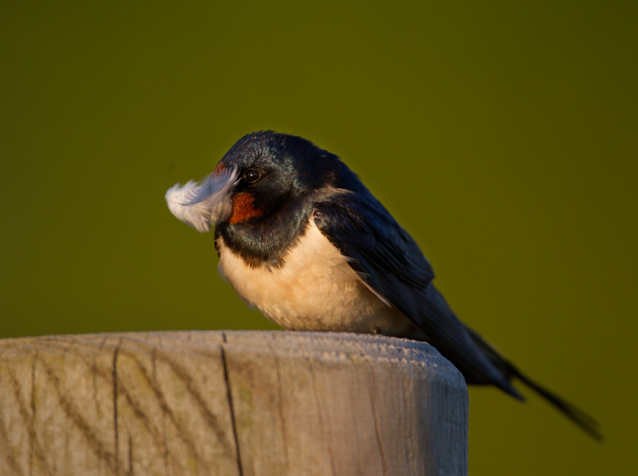 Swallow with Feather