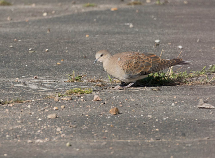Turtle Dove - Juvenile