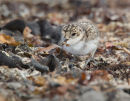 Two-banded Plover Chick