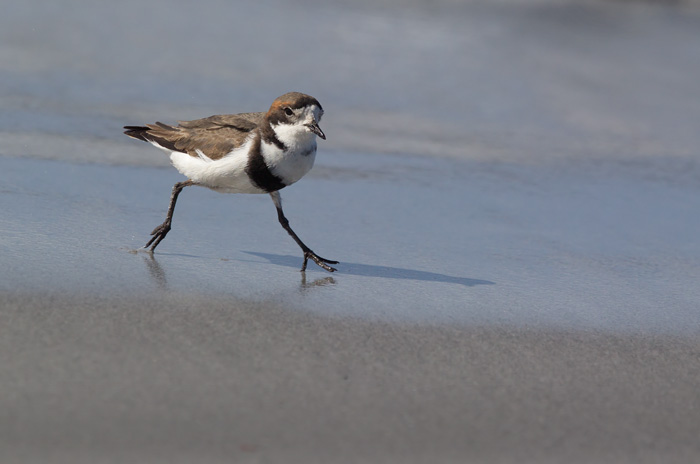 Two-banded Plover