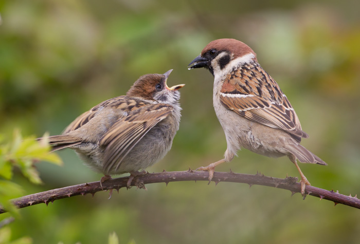 Tree Sparrows