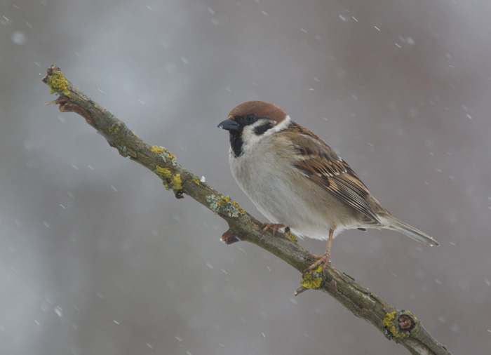 Tree Sparrow in Snow-storm