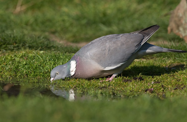 Wood Pigeon at Water