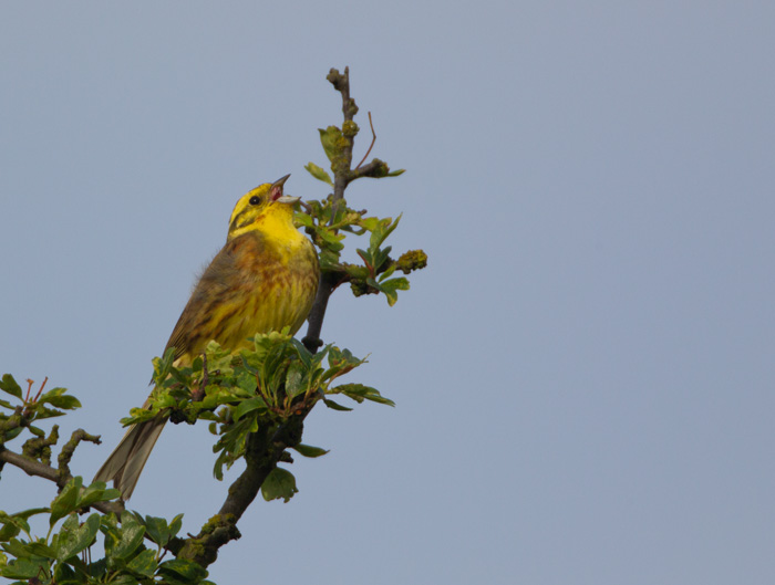 Yellowhammer in Song