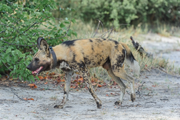 Wild Dog with Collar
