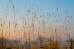 Dawn Grasses