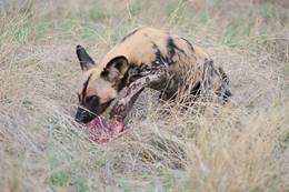 Wild Dog with Prey Share