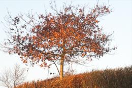 Burnished Tree