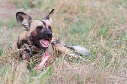 Wild Dog Warning