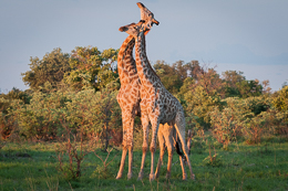 Giraffes Necking 1