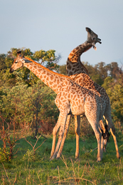 Giraffes Necking 2