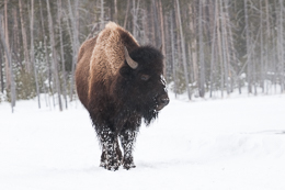 Bison in Clearing