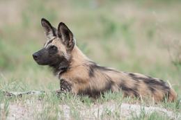 Wild Dog Resting 2