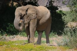 Desert Elephant Feeding