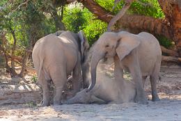 Desert Elephant Dustbath