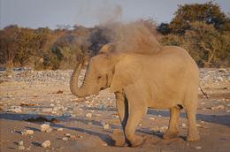 Elephant Dusting at Dusk