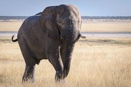 Elephant Etosha