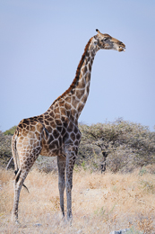 Giraffe obtaining Calcium