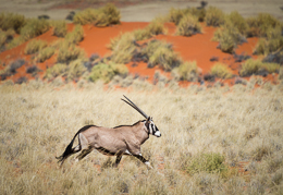 Oryx on the Move
