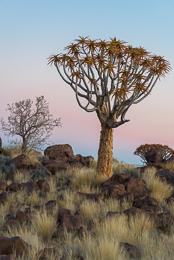 Quiver Tree Dawn