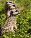 'The three wise meerkats !'