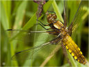 'Broad-bodied Chaser dragonfly...'