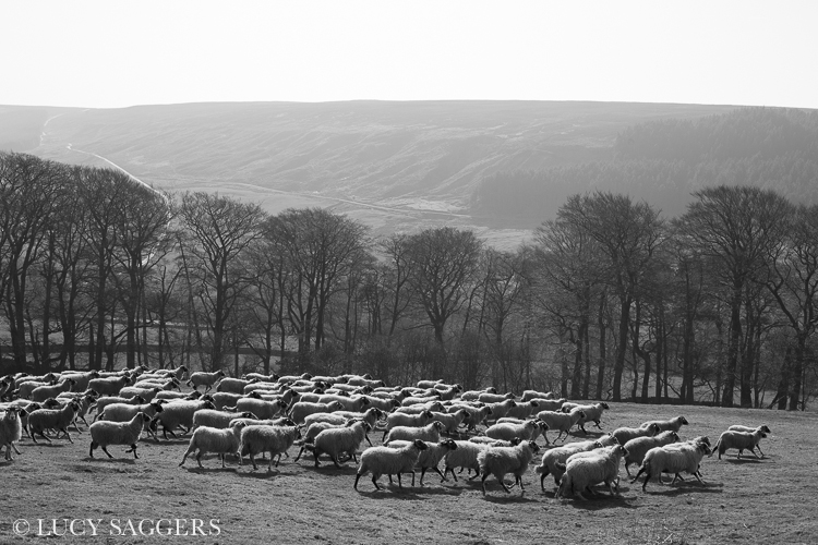 Bringing the ewes off the hill, Bransdale, March 2014