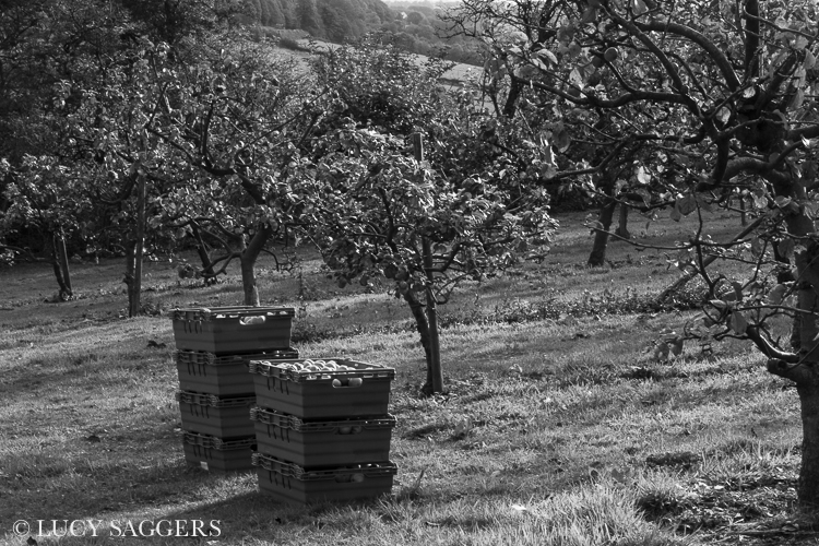 Ampleforth Abbey Orchards, October 2012