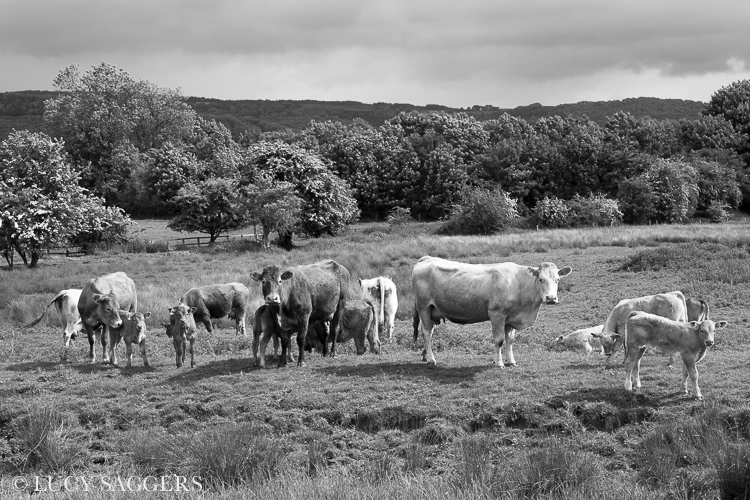 Cows and calves, Coxwold, June 2013