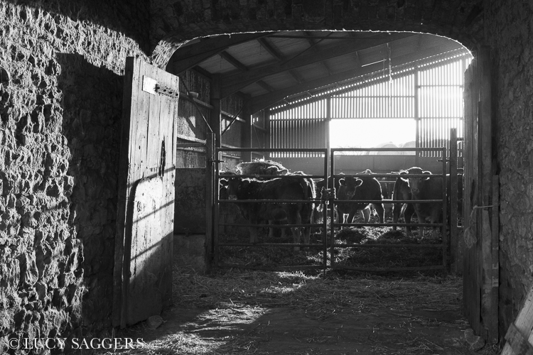 Cattle in the byre, Byland Abbey, November 2013