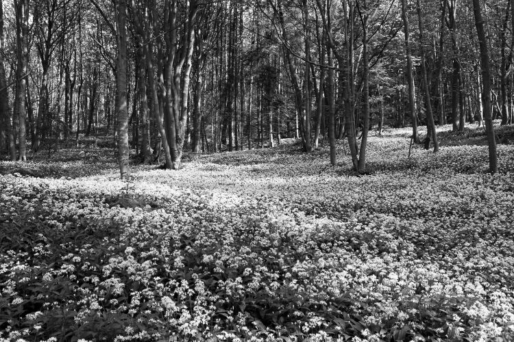 Frank's wild woods, Byland Abbey, May 2015