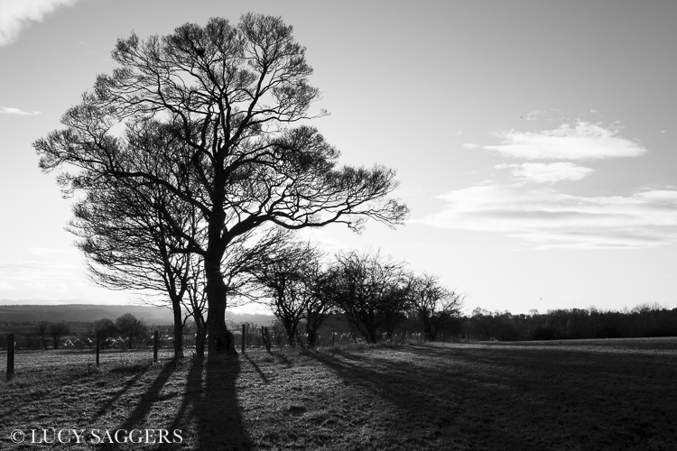 Field maple, Ampleforth, January 2014