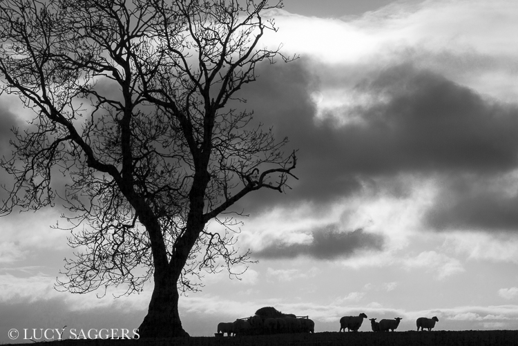 Sheep on Knoll Hill I, November 2012
