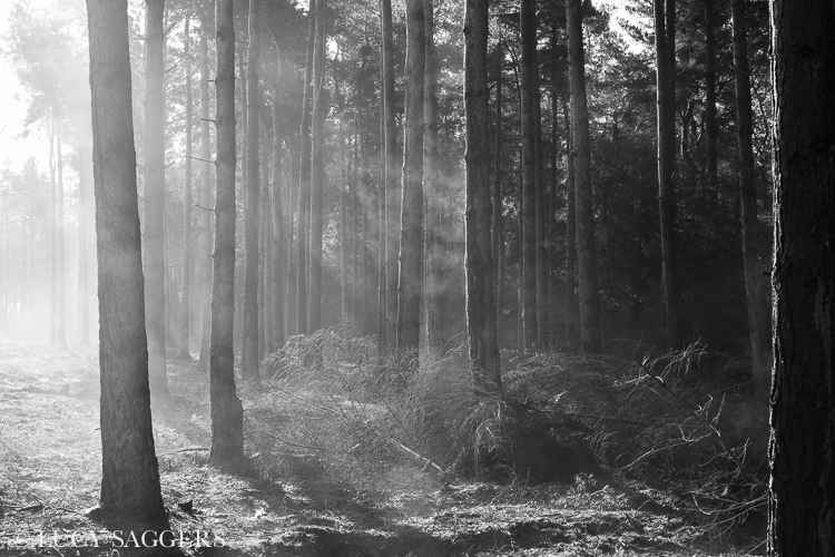 Steaming scots pines, Yearsley, March 2014