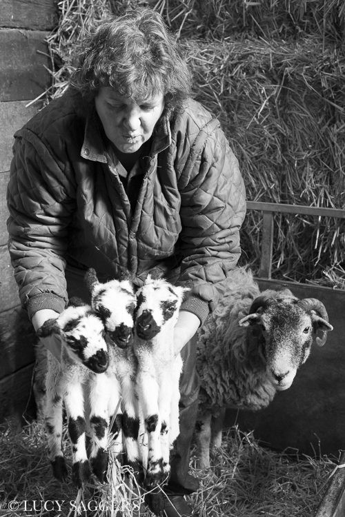 Sarah with Swaledale triplets, Bransdale, March 2014