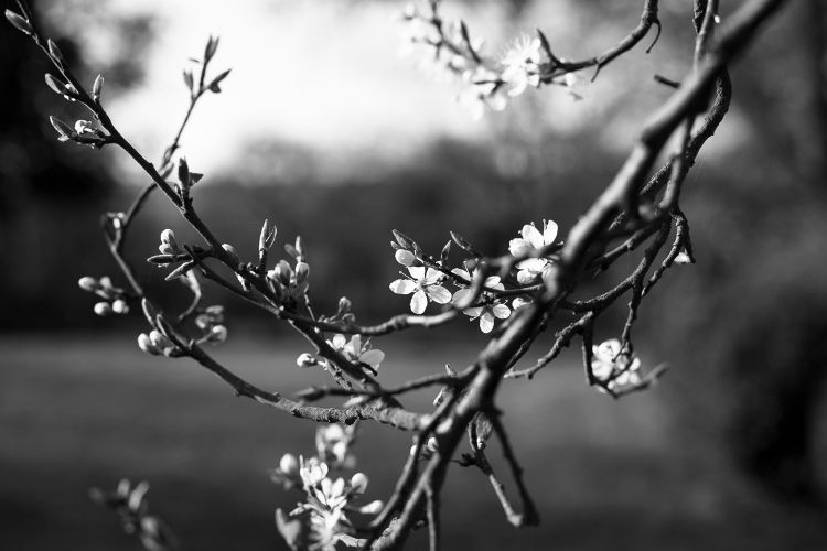 Damson blossom, April 2015