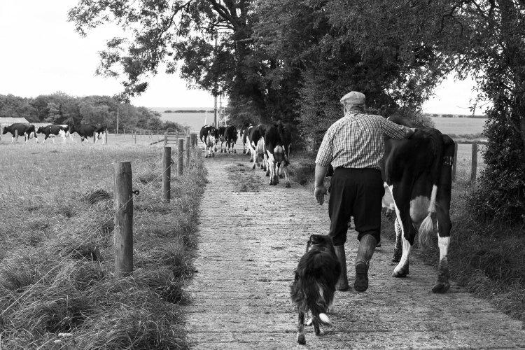 Paul Dunn bringing his cows in for milking, Helmsley, September 2016
