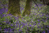 Bluebell Wood,