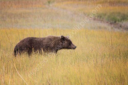 Bear wandering -