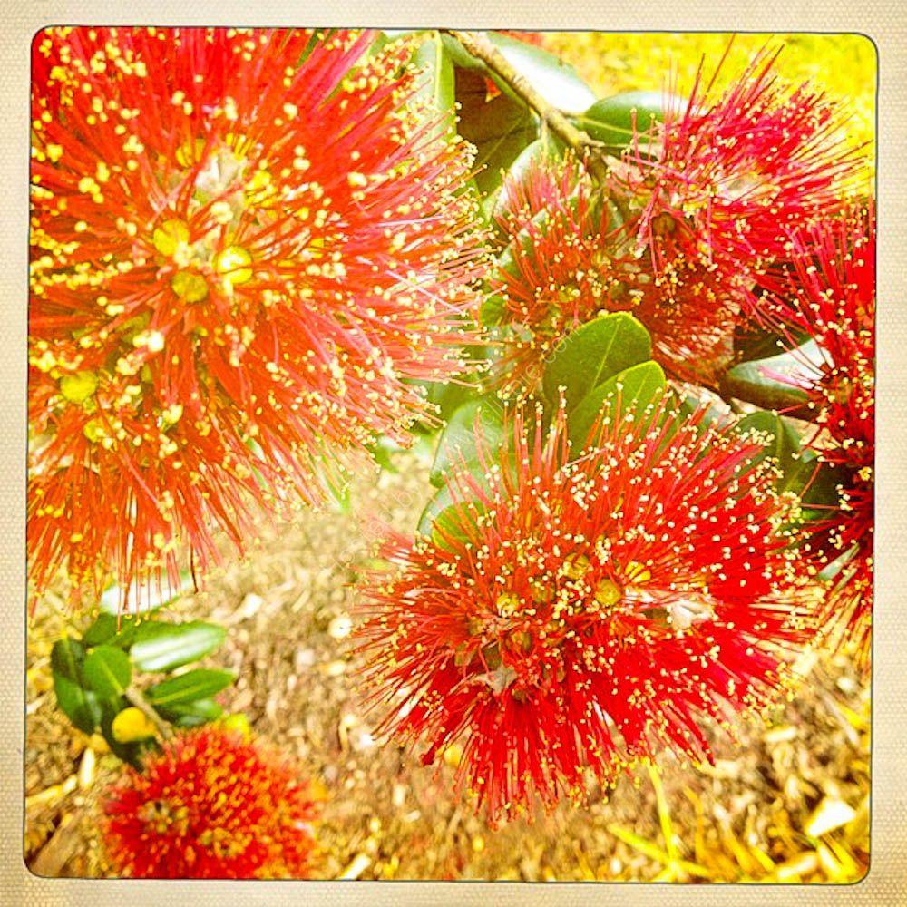 Pohutukawa blooms