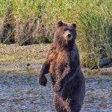 Bear watch!