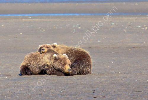 Sleepy Bear cubs  - Lake Clark National Park