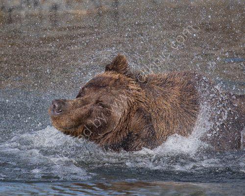 Bears shake their heads like dogs...