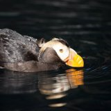 Tufted Puffin - Homer