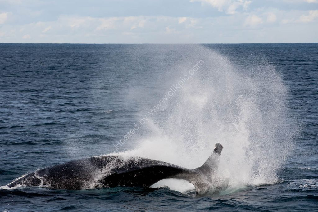 Humpback Whale of Sydney Heads