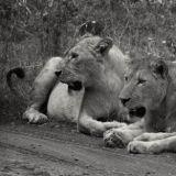 Lioness's