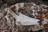 ancient bone scoop made by the Thule people - Scoresby Sound