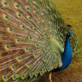 Peacock - Tasmania