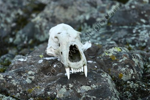 Polar Bear skull, East Greenland