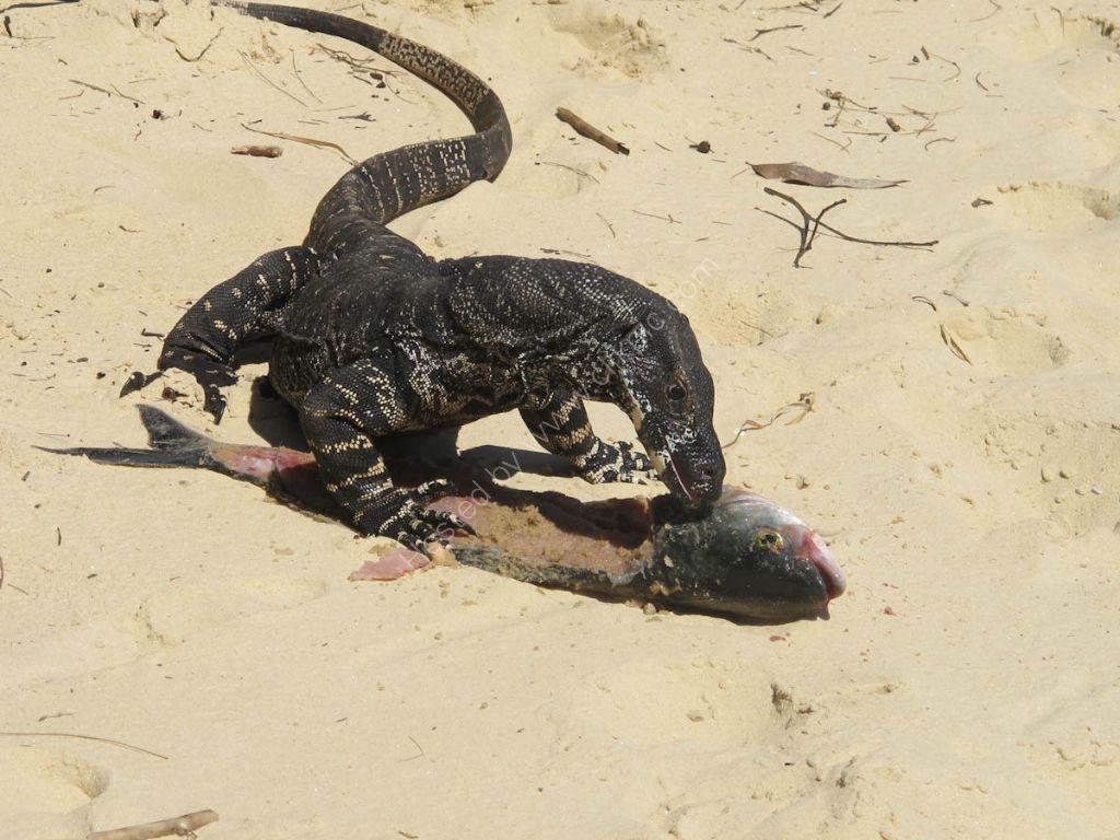 Large Monitor Lizard - Hawkesbury River